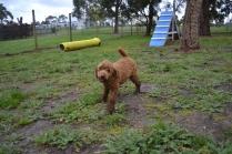 banksia-park-puppies-koko-3-of-29