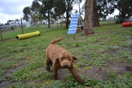 banksia-park-puppies-koko-4-of-29