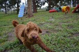 banksia-park-puppies-koko-5-of-29