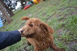 banksia-park-puppies-koko-6-of-29