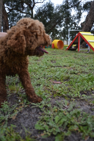 banksia-park-puppies-koko-7-of-29
