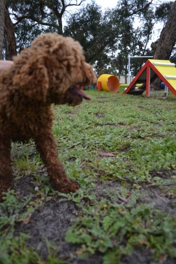 banksia-park-puppies-koko-7-of-29