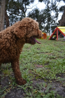 banksia-park-puppies-koko-8-of-29