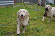 banksia-park-puppies-onnie-14-of-27