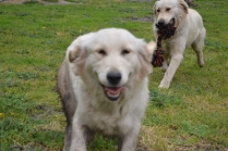 banksia-park-puppies-onnie-15-of-27