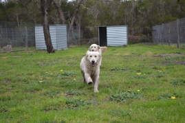 banksia-park-puppies-onnie-16-of-27