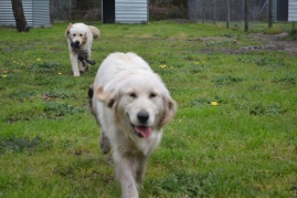 banksia-park-puppies-onnie-18-of-27
