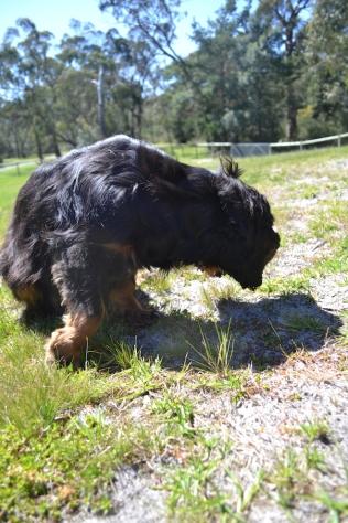 banksia-park-puppies-panky-10-of-25