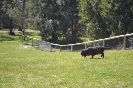 banksia-park-puppies-panky-2-of-25