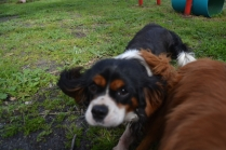 banksia-park-puppies-patricia-31-of-39