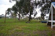 banksia-park-puppies-precious-12-of-31