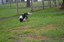 banksia-park-puppies-precious-13-of-31