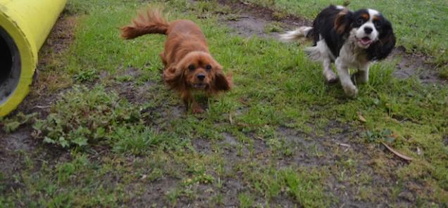 banksia-park-puppies-precious-17-of-31