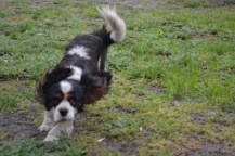 banksia-park-puppies-precious-2-of-31