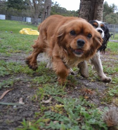 banksia-park-puppies-precious-21-of-31