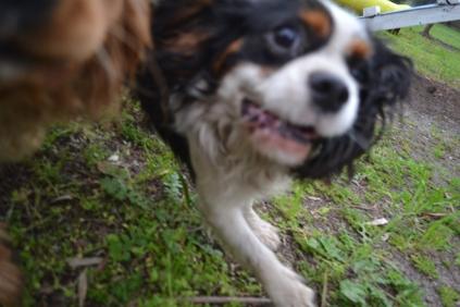 banksia-park-puppies-precious-22-of-31