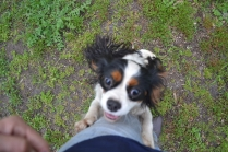 banksia-park-puppies-precious-24-of-31