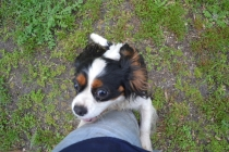 banksia-park-puppies-precious-25-of-31