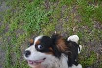 banksia-park-puppies-precious-27-of-31