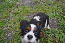 banksia-park-puppies-precious-3-of-31