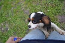 banksia-park-puppies-precious-4-of-31