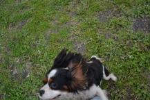 banksia-park-puppies-precious-5-of-31