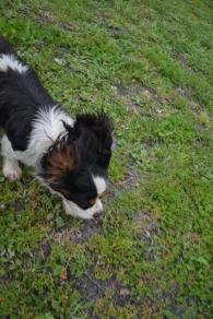 banksia-park-puppies-precious-8-of-31