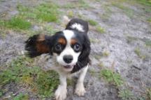 banksia-park-puppies-precious-9-of-31