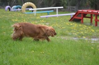 banksia-park-puppies-skyla-11-of-16