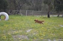 banksia-park-puppies-skyla-2-of-16
