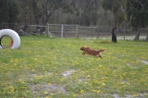 banksia-park-puppies-skyla-2-of-16