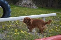 banksia-park-puppies-skyla-5-of-16
