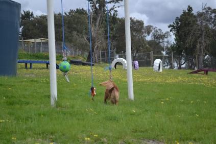 banksia-park-puppies-skyla-9-of-16