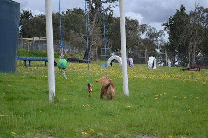 banksia-park-puppies-skyla-9-of-16