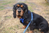 Pandora-Cavalier-Banksia Park Puppies - 1 of 26