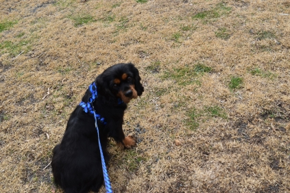 Pandora-Cavalier-Banksia Park Puppies - 11 of 26