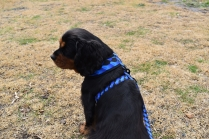 Pandora-Cavalier-Banksia Park Puppies - 13 of 26