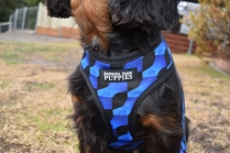 Pandora-Cavalier-Banksia Park Puppies - 4 of 26