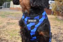 Pandora-Cavalier-Banksia Park Puppies - 4 of 26