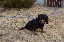 Pandora-Cavalier-Banksia Park Puppies - 7 of 26