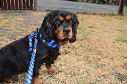 Pandora-Cavalier-Banksia Park Puppies - 8 of 26