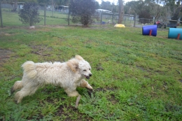 banksia-park-puppies-buddy-13-of-25