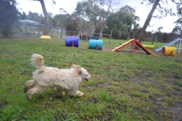 banksia-park-puppies-buddy-14-of-25