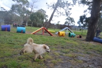 banksia-park-puppies-buddy-15-of-25
