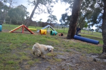 banksia-park-puppies-buddy-16-of-25