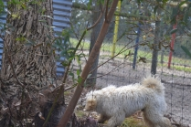 banksia-park-puppies-buddy-19-of-25