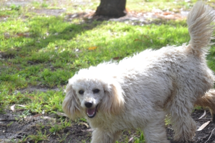 banksia-park-puppies-buddy-20-of-25