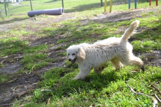banksia-park-puppies-buddy-21-of-25