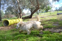 banksia-park-puppies-buddy-25-of-25