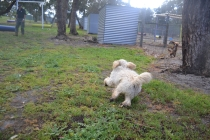 banksia-park-puppies-buddy-4-of-25